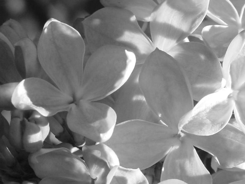 Black and White photos of Lilacs by Deborah Carney.DSC08145