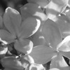 Black and White photos of Lilacs by Deborah Carney.DSC08145