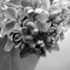 Black and White photos of Lilacs by Deborah Carney.--diderot-DSC08829