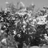 Black and White photos of Lilacs by Deborah Carney.DSC08166
