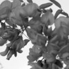 Black and White photos of Lilacs by Deborah Carney.--kelsey-locust-DSC08722
