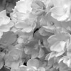 Black and White photos of Lilacs by Deborah Carney.--victor-lemoine-DSC08781