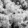 Black and White photos of Lilacs by Deborah Carney.--DSC08514