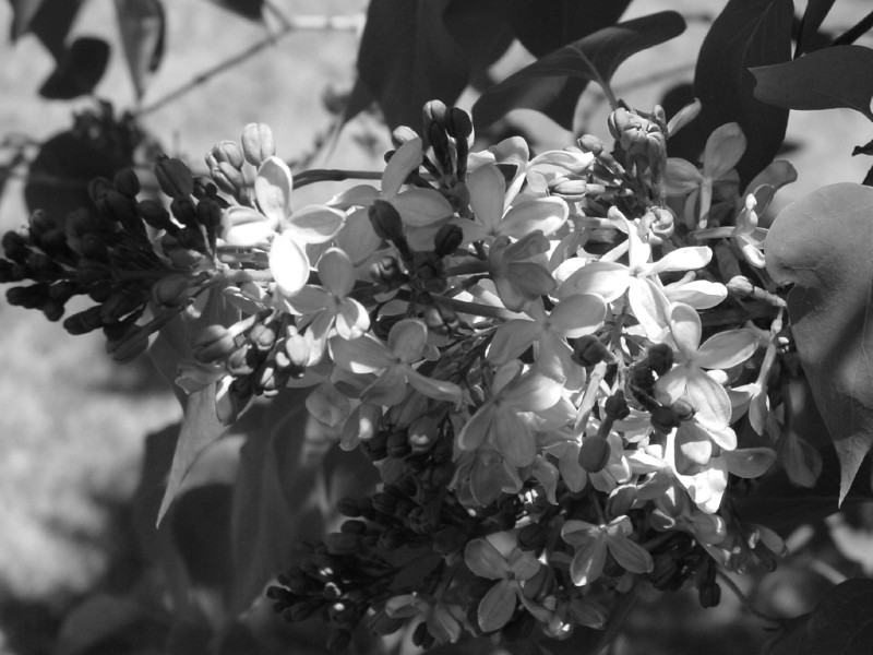 Black and White photos of Lilacs by Deborah Carney.DSC08274