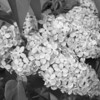 Black and White photos of Lilacs by Deborah Carney.--DSC08520