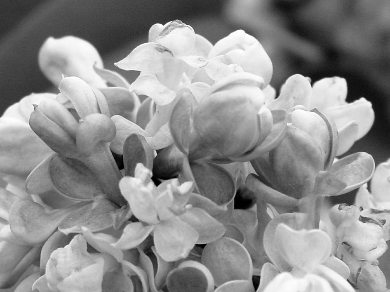 Black and White photos of Lilacs by Deborah Carney.--utro-moskvy-DSC08812