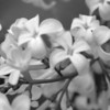 Black and White photos of Lilacs by Deborah Carney.--DSC08504