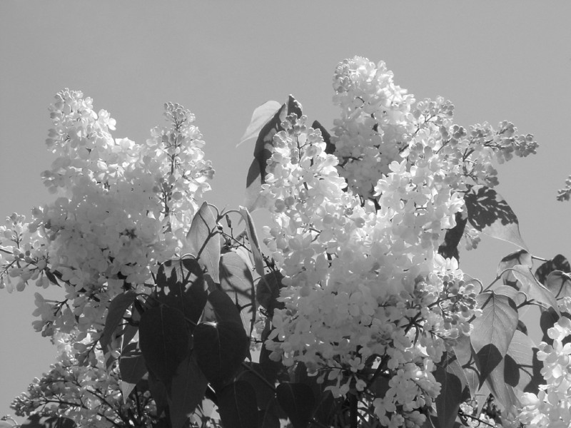 Black and White photos of Lilacs by Deborah Carney.DSC08195