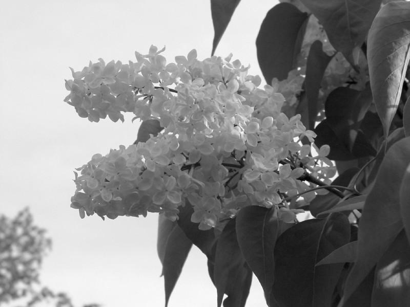 Black and White photos of Lilacs by Deborah Carney.--primrose-yellow-DSC08620