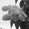 Black and White photos of Lilacs by Deborah Carney.--primrose-yellow-DSC08620