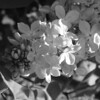 Black and White photos of Lilacs by Deborah Carney.DSC08152