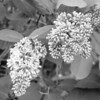 Black and White photos of Lilacs by Deborah Carney.--hiawatha-DSC08839