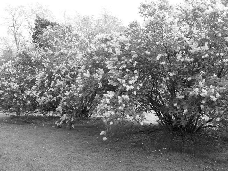 Black and White photos of Lilacs by Deborah Carney.--DSC08518