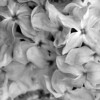 Black and White photos of Lilacs by Deborah Carney.--jessie-gardner-DSC08795
