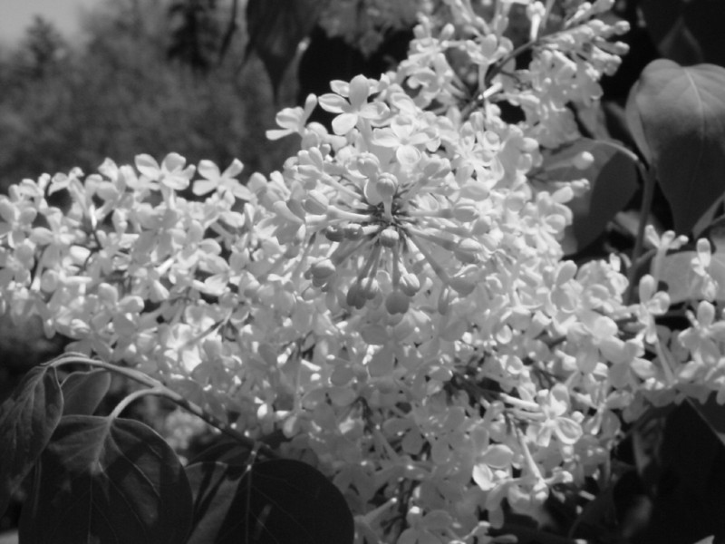 Black and White photos of Lilacs by Deborah Carney.DSC08254