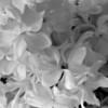Black and White photos of Lilacs by Deborah Carney.--paul-deschanel-DSC08863