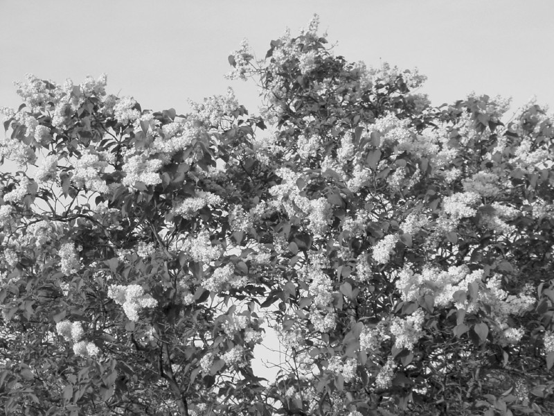Black and White photos of Lilacs by Deborah Carney.--DSC08677