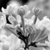 Black and White photos of Lilacs by Deborah Carney.--anabel-DSC08667