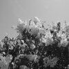 Black and White photos of Lilacs by Deborah Carney.DSC08196