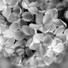 Black and White photos of Lilacs by Deborah Carney.--znamia-lenina-DSC08787