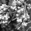 Black and White photos of Lilacs by Deborah Carney.DSC08173