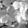Black and White photos of Lilacs by Deborah Carney.--primrose-yellow-DSC08617