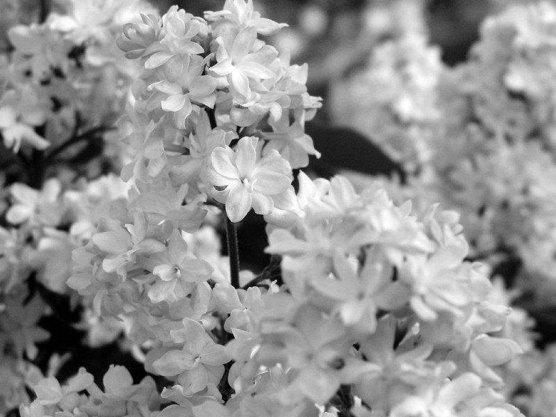 Black and White photos of Lilacs by Deborah Carney.--dr-maillot-DSC08710