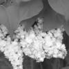 Black and White photos of Lilacs by Deborah Carney.--leon-gambetta-DSC08579