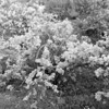 Black and White photos of Lilacs by Deborah Carney.--syringa-laciata-DSC08550
