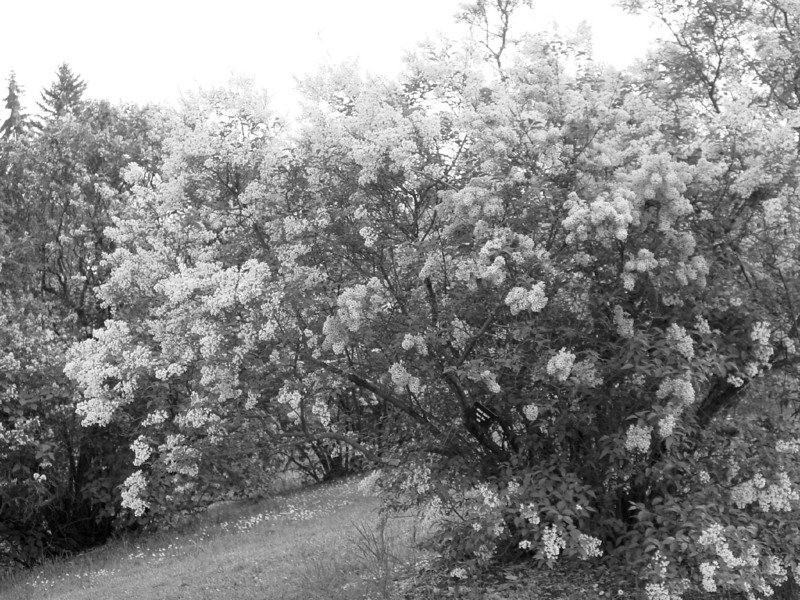 Black and White photos of Lilacs by Deborah Carney.--DSC08605