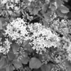 Black and White photos of Lilacs by Deborah Carney.--lilacs-DSC08929