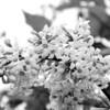Black and White photos of Lilacs by Deborah Carney.--lilacs-DSC08937