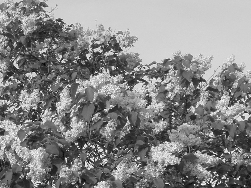 Black and White photos of Lilacs by Deborah Carney.--DSC08678