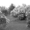 Black and White photos of Lilacs by Deborah Carney.--DSC08603