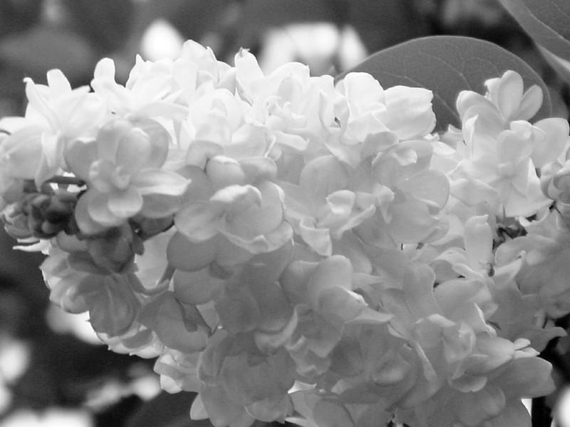 Black and White photos of Lilacs by Deborah Carney.--krassavica-moskvy-DSC08923