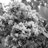 Black and White photos of Lilacs by Deborah Carney.--ostrander-DSC08856