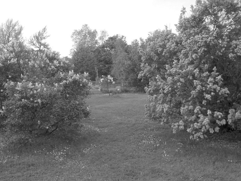 Black and White photos of Lilacs by Deborah Carney.--DSC08671