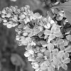 Black and White photos of Lilacs by Deborah Carney.--glory-DSC08630