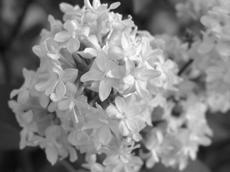 Black and White photos of Lilacs by Deborah Carney.--dr-maillot-DSC08711
