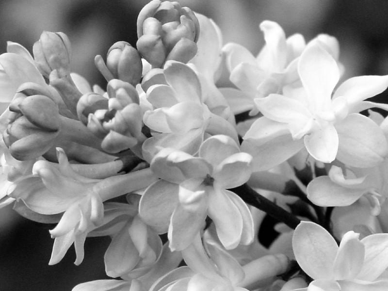 Black and White photos of Lilacs by Deborah Carney.--DSC08512