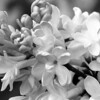 Black and White photos of Lilacs by Deborah Carney.--DSC08512
