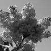 Black and White photos of Lilacs by Deborah Carney.DSC08160