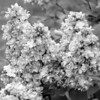 Black and White photos of Lilacs by Deborah Carney.--taras-bulba-DSC08871
