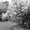 Black and White photos of Lilacs by Deborah Carney.--DSC08602