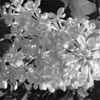 Black and White photos of Lilacs by Deborah Carney.DSC08186