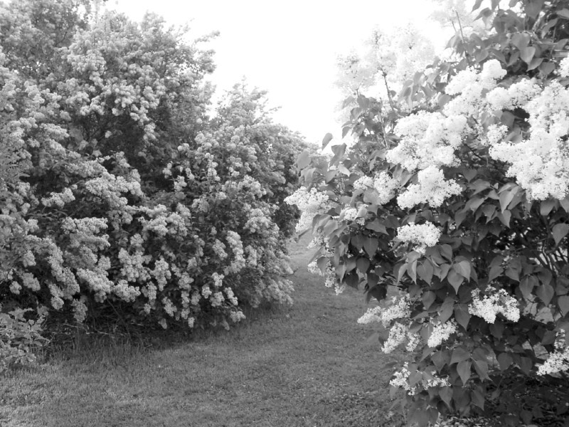 Black and White photos of Lilacs by Deborah Carney.--DSC08542