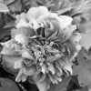 Black and White photos of Lilacs by Deborah Carney.--peonies-DSC08768