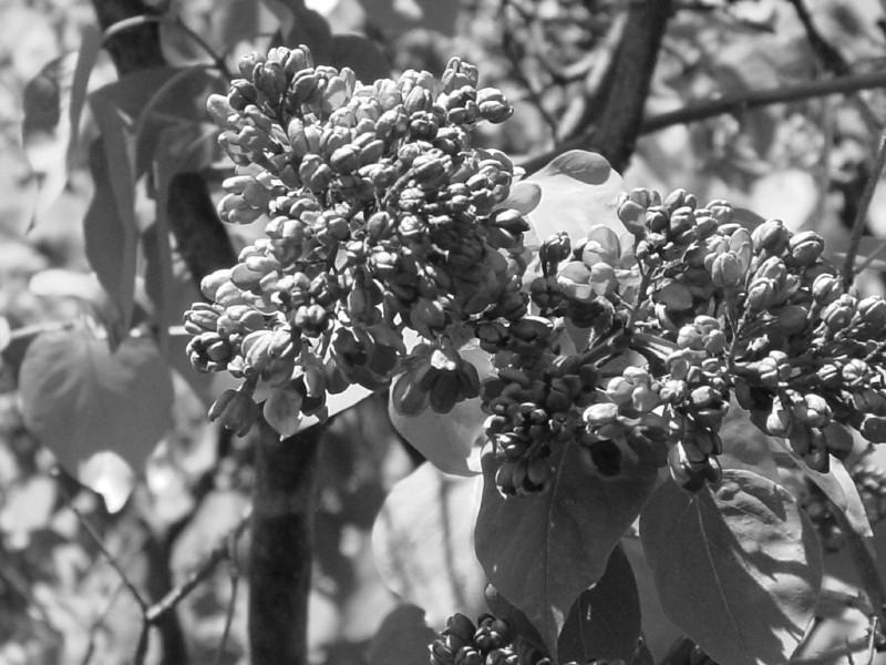 Black and White photos of Lilacs by Deborah Carney.DSC08279