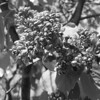 Black and White photos of Lilacs by Deborah Carney.DSC08279