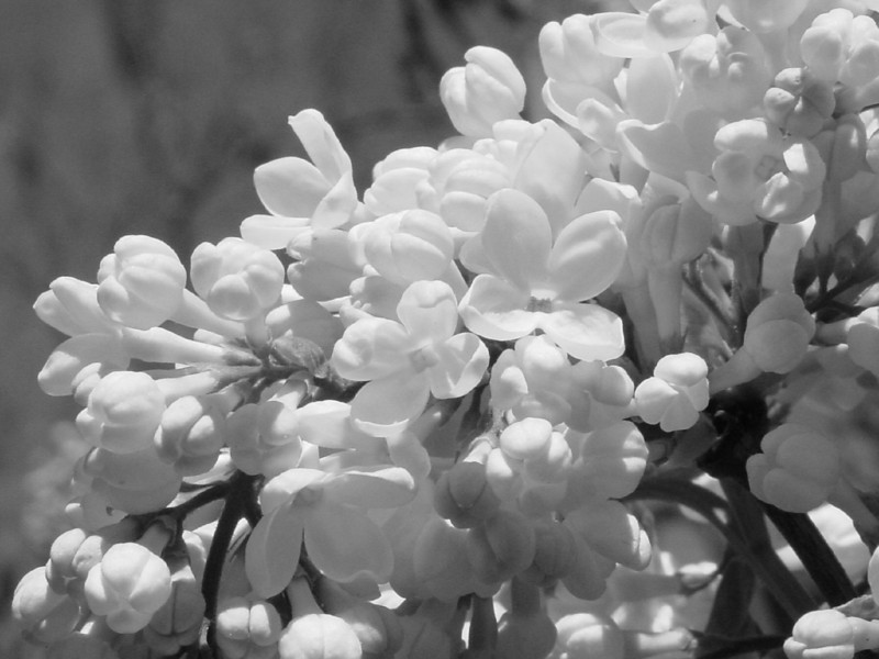 Black and White photos of Lilacs by Deborah Carney.DSC08175
